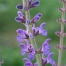 salvia-virgata_383